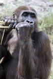 Gorilla, der Bambus kaut Stockbilder