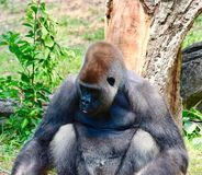Gorilla, der den Boden studiert Lizenzfreies Stockfoto