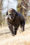 Gorilla, der direkt in Linse anstarrt Stockfotografie