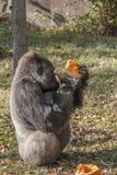 Gorilla, der einen Kürbis sitzt und isst Stockbild