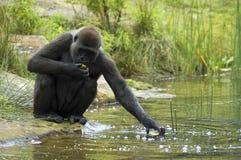 Gorilla, der für seine Nahrung erreicht Stockfotografie