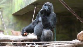 Gorilla, der Gem?se isst Gorilla, der Mittagessen Gorillagorilla hat Portr?t eines dominierenden m?nnlichen Gorillas stock footage