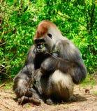 Gorilla, der herum sitzt und schaut Stockfotografie