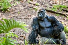 Gorilla, der im Dschungel sitzt Lizenzfreie Stockbilder