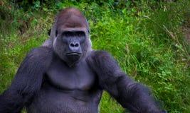 Gorilla, der im Gras sich entspannt stockfoto