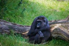 Gorilla, der im Gras sich entspannt Stockbild