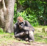 Gorilla, der im Gras sitzt Lizenzfreie Stockbilder
