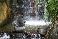 Gorilla, der im natürlichen Lebensraum isst Stockfotografie