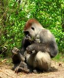 Gorilla, der it's Hand betrachtet Stockbild
