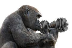 Gorilla, der mit einem Dumbbell ausarbeitet Stockfoto