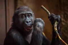 Gorilla, der mit einem Zweig spielt Stockfoto