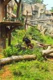 Gorilla, der mit einer Einfangensnatur steht. Lizenzfreie Stockfotos
