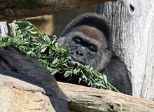 Gorilla, der Nahrung isst Stockbild