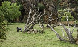 Gorilla in der Natur Stockfotografie