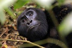Gorilla, der oben schaut Lizenzfreie Stockfotografie