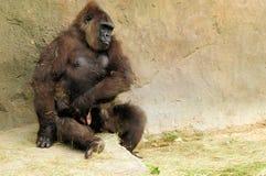 Gorilla, der Schätzchen anhält Lizenzfreie Stockbilder
