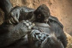 Gorilla, der sein Baby stillt Lizenzfreie Stockfotografie