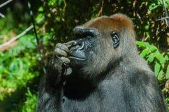 Gorilla, der seine Wekzeugspritze auswählt Stockfoto