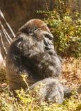 Gorilla, der seitlich Kamera betrachtet Lizenzfreie Stockbilder