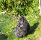 Gorilla in der Sonne Lizenzfreies Stockbild