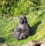 Gorilla in der Sonne Lizenzfreies Stockfoto