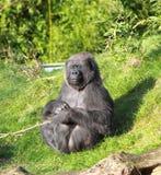 Gorilla in der Sonne Stockbilder