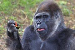 Gorilla, der Wassermelone isst lizenzfreie stockfotografie