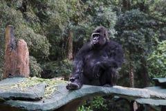 Gorilla, der am Zoo sitzt Stockfotografie
