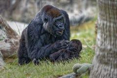 Gorilla, der zu ihrem Baby schaut stockbild