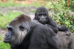 Gorilla des westlichen Tieflandes Stockbild