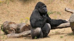 Gorilla des westlichen Tieflandes lizenzfreie stockbilder