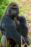Gorilla - detailed view Stock Images