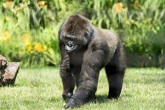 Gorilla di montagna Fotografia Stock