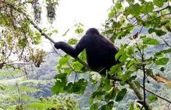 Gorilla di montagna Fotografie Stock