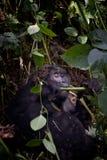 Gorilla di montagna abituata, Bwindi Immagini Stock Libere da Diritti