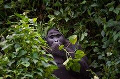 Gorilla di montagna abituata di Blackback Fotografia Stock Libera da Diritti