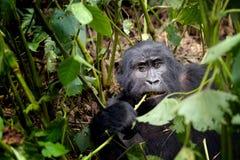 Gorilla di montagna abituata giovani Fotografia Stock Libera da Diritti