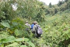 Gorilla di montagna che Trekking nella foresta Fotografia Stock