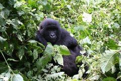 Gorilla di montagna, Congo Fotografia Stock Libera da Diritti