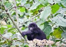 Gorilla di montagna del bambino Immagine Stock