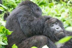 Gorilla di montagna delle femmine Fotografia Stock