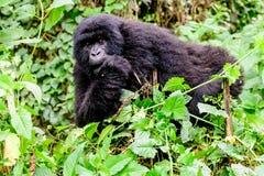 Gorilla di montagna giovanile che scruta attraverso la vegetazione immagine stock