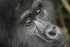 Gorilla di montagna orientale Immagine Stock Libera da Diritti