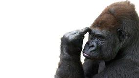 Gorilla di pensiero immagini stock