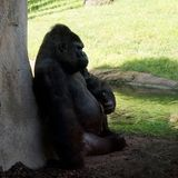 Gorilla di pianura occidentale maschio del Silverback che si siede alla roccia su un fondo della gorilla della gorilla della gori immagine stock