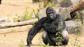 Gorilla di pianura occidentale, silverback fotografie stock