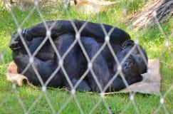 Gorilla di rilassamento Fotografie Stock