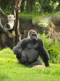 Gorilla di Silverback Immagine Stock