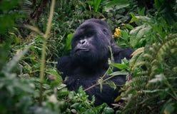 Gorilla di Silverback della foresta pluviale della Ruanda Fotografie Stock