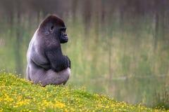 Gorilla di Silverback della pianura Fotografia Stock Libera da Diritti